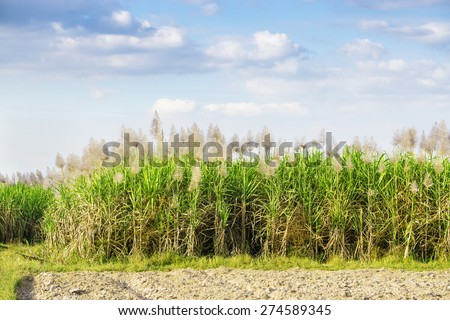 sugarcane plantation - cane, green field on sunny day in Tay Ninh, Vietnam. - stock photo