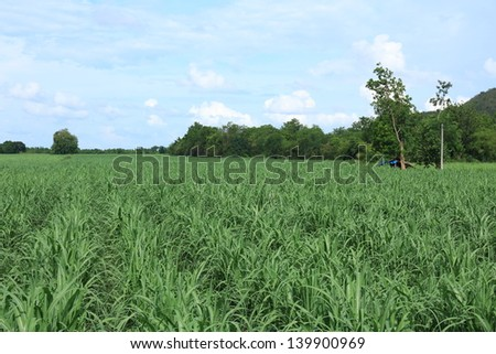 Sugarcane plantation in Thailand. - stock photo