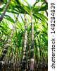 sugarcane plants grow in field - stock photo