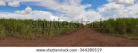 Sugarcane skyline panoramic landscape - stock photo