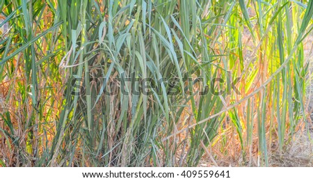 sugarcane.sugarcane field.fresh sugarcane in garden.Sugarcane stalks.Close up Sugarcane.fresh sugarcane in garden.sugarcane field.sugarcane stalks grow at field.Close up sugar cane. - stock photo