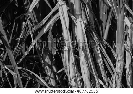 sugarcane.sugarcane field.fresh sugarcane in garden.Sugarcane stalks.Close up Sugarcane.fresh sugarcane in garden.sugarcane field. - stock photo