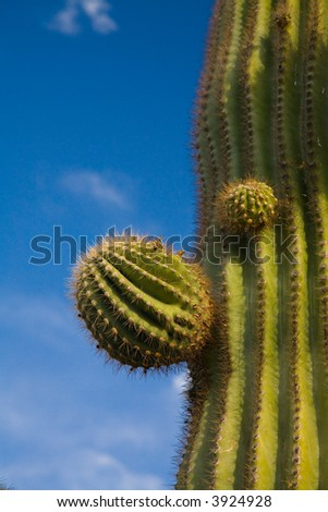 Suguaro Cactus blue sky and evening sun accent ridges