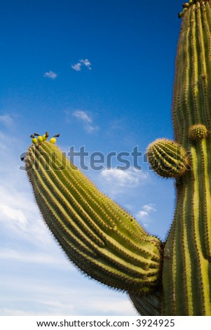 Suguaro Cactus blue sky and evening sun accent ridges and arms