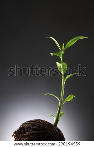 Suicide tree, Pong seed is growing a new life