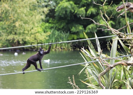 Sulawesi crested macaque moved across the pond. Oldest zoos in Europe. Republic of Ireland. - stock photo