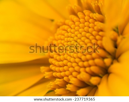 Sulfur Cosmos or Yellow Cosmos, Close up, Macro