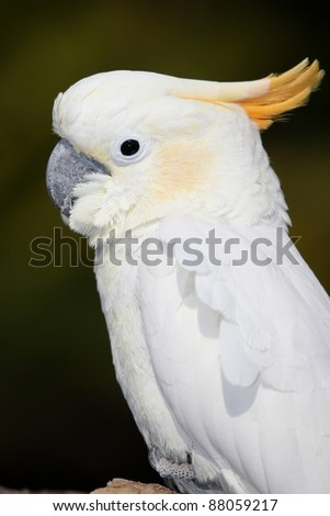 Sulfur Crested Cockatoo bird with distinctive yellow crest