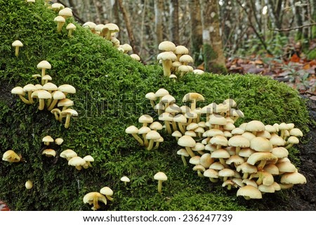 sulfur tuft mushrooms on a trunk  in a woodland - stock photo