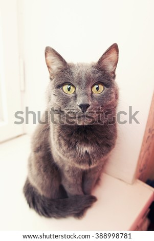 sulfurs the cat removed on a wide-angle lens - stock photo