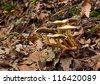 Sulphur aka Sulfur tuft, Woodlover wild mushroom - stock photo