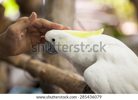 Sulphur-crested cockatoo be docile with hand. - stock photo