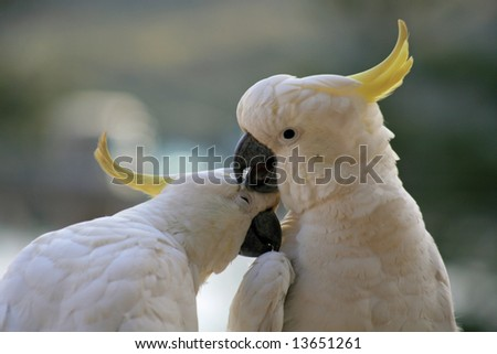 Sulphur-crested Cockatoo couple, making kisses on our balcony, Manly, Sydney, New South Wales, Australia, - stock photo