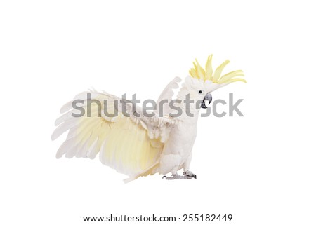 Sulphur-crested Cockatoo, isolated on white  - stock photo