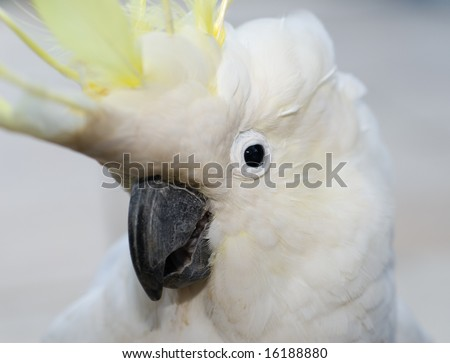 Sulphur crested cockatoo looking at camera with grey blurred background. - stock photo