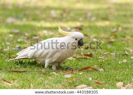 Sulphur crested Cockatoo Parrot in Sydney Park. Portrait. - stock photo