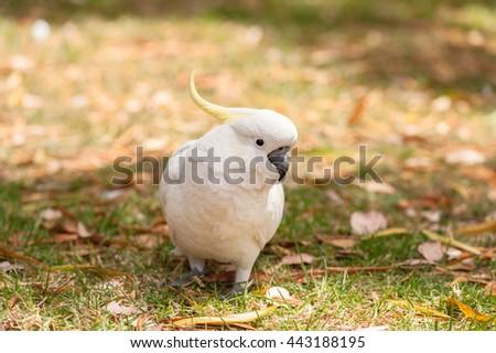 Sulphur crested Cockatoo Parrot in Sydney Park. Portrait, closeup - stock photo