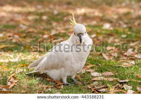 Sulphur crested Cockatoo Parrot in Sydney Park. Royal Botanic Gardens. Closeup - stock photo