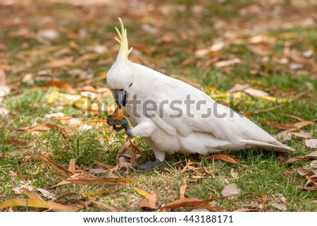 Sulphur crested Cockatoo Parrot in Sydney Park. Royal Botanic Gardens. Eating Food.  - stock photo