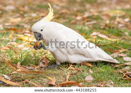 Sulphur crested Cockatoo Parrot in Sydney Park. Royal Botanic Gardens. Hold and eat tourist Food.  - stock photo