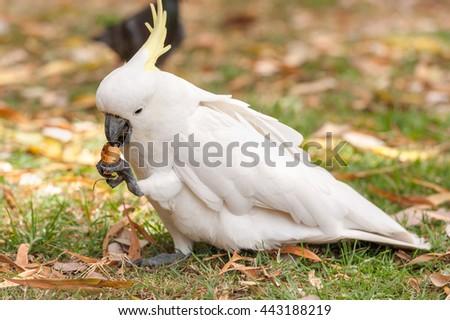 Sulphur crested Cockatoo Parrot in Sydney Park. Tourist feeding in Royal Botanic Gardens - stock photo