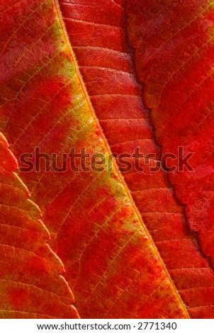 Sumac Leaves - stock photo