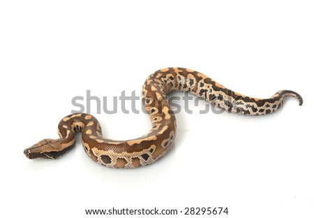 Sumatran Red Blood Python (Python curtis curtis) isolated on white background.