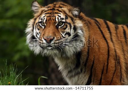 Sumatran Tiger against blurred background. - stock photo