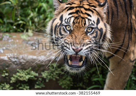 Sumatran Tiger Dilated Eyes - stock photo