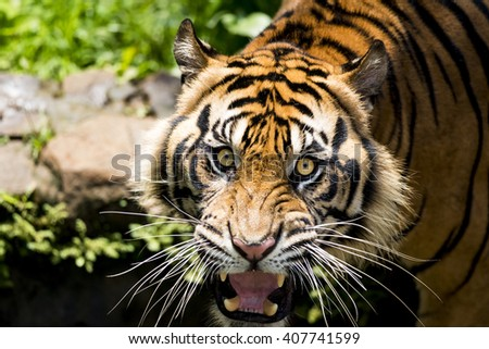 Sumatran Tiger First Attempt Attack - stock photo