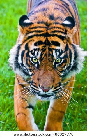 Sumatran Tiger hunting - stock photo