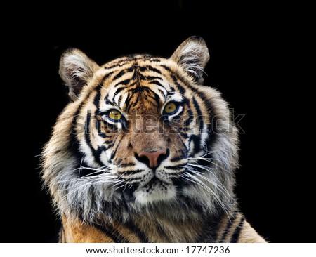 sumatran tiger isolated on black - stock photo