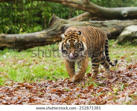 Sumatran Tiger Licking Lips Framed by Greenery Panthera Tigris Sumatrae - stock photo