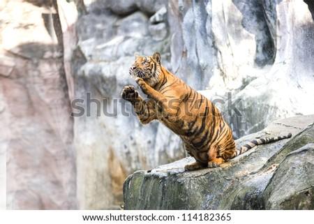 Sumatran tiger looking at the camera - stock photo