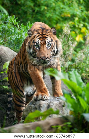 Sumatran tiger looking at the camera - stock photo