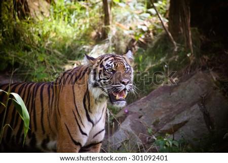 Sumatran Tiger (Panthera tigris sumatrae) in a forest - stock photo
