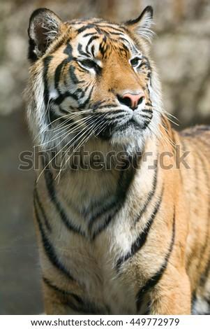 Sumatran tiger (Panthera tigris sumatrae) Tiger Face Close Up of Sumatran Tiger - stock photo