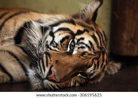 Sumatran tiger (Panthera tigris sumatrae). Wild life animal.  - stock photo