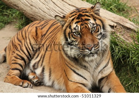 Sumatran Tiger Resting - stock photo