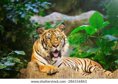Sumatran Tiger Roaring - stock photo