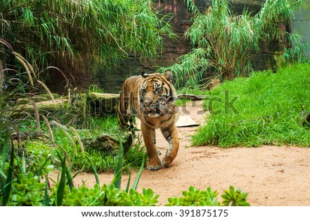 Sumatran tiger. The Sumatran tiger is the only surviving member of the Sunda Islands group of tigers. - stock photo