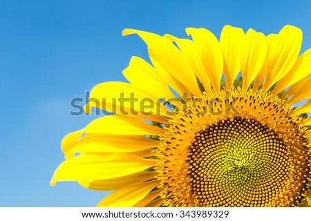 Summer background, bright yellow sunflower over blue sky - stock photo