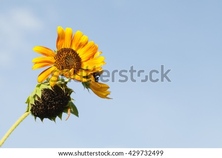 Summer background, bright yellow sunflower over blue sky in garden during the daytime with sun light - stock photo