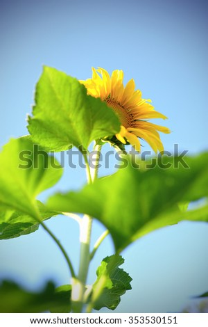 Summer background, bright yellow sunflower over blue sky,selective focus.  - stock photo
