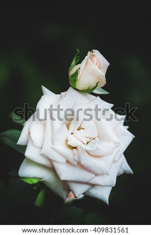 Summer background with beautiful white rose, blurred image, selective focus, shallow depth of field - stock photo