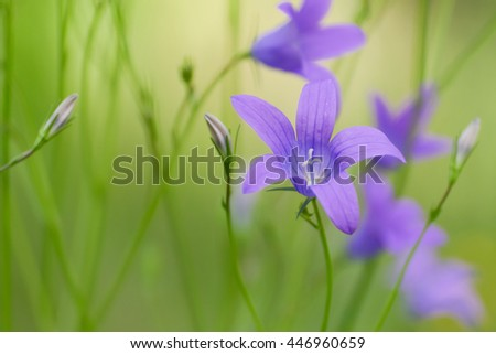 Summer background with blooming campanula patula or spreading bellflower, soft focus. - stock photo