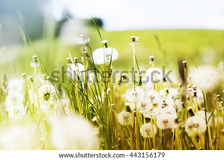 Summer background with Dandelion meadow - stock photo