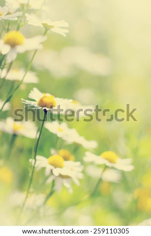 Summer background with field of daisy flowers - stock photo