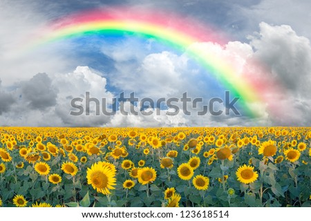 Summer beautiful landscape with big sunflowers field and blue sky with clouds and rainbow