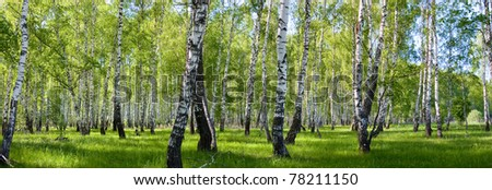 summer birch forest landscape panorama - stock photo
